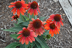 Sombrero® Flamenco Orange Coneflower (Echinacea 'Balsomenco') at Dickman Farms