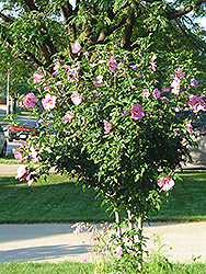 Aphrodite Rose of Sharon (Hibiscus syriacus 'Aphrodite') at Dickman Farms