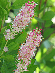 Ruby Spice Summersweet (Clethra alnifolia 'Ruby Spice') at Dickman Farms