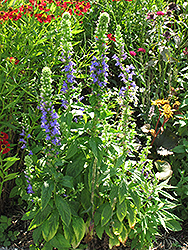 Blue Cardinal Flower (Lobelia siphilitica) at Dickman Farms