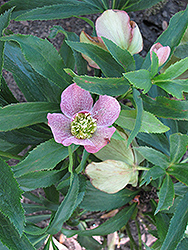 Winter Jewels® Cherry Blossom Hellebore (Helleborus 'Cherry Blossom') at Dickman Farms