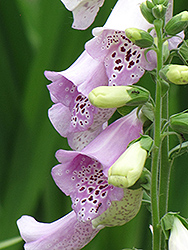 Camelot Lavender Foxglove (Digitalis purpurea 'Camelot Lavender') at Dickman Farms