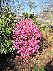 Landmark Rhododendron (Rhododendron 'Landmark') at Dickman Farms
