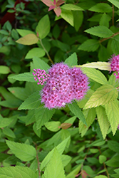 Double Play® Candy Corn® Spirea (Spiraea japonica 'NCSX1') at Dickman Farms