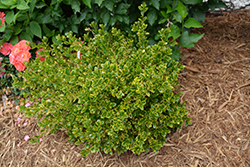 Wedding Ring® Boxwood (Buxus microphylla 'Eseles') at Dickman Farms