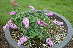 Pugster® Pink Butterfly Bush (Buddleia 'SMNBDPT') at Dickman Farms