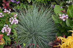 Beyond Blue™ Blue Fescue (Festuca glauca 'Casca11') at Dickman Farms
