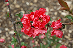 Double Take Pink™ Flowering Quince (Chaenomeles speciosa 'Double Take Pink Storm') at Dickman Farms