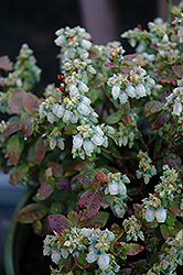 Jelly Bean® Blueberry (Vaccinium 'ZF06-179') at Dickman Farms