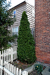 Dark Green Arborvitae (Thuja occidentalis 'Nigra') at Dickman Farms