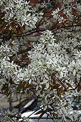 Spring Flurry Serviceberry (Amelanchier laevis 'JFS-Arb') at Dickman Farms