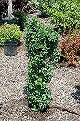 California Privet (Ligustrum ovalifolium) at Dickman Farms