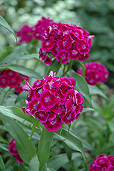 Purple Sweet William (Dianthus barbatus 'Purple') at Dickman Farms