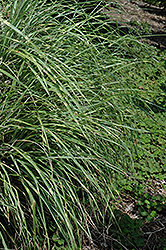 Little Zebra Dwarf Maiden Grass (Miscanthus sinensis 'Little Zebra') at Dickman Farms