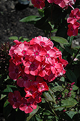 Glamour Girl Garden Phlox (Phlox paniculata 'Glamour Girl') at Dickman Farms