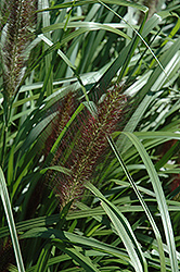 Red Head Fountain Grass (Pennisetum alopecuroides 'Red Head') at Dickman Farms