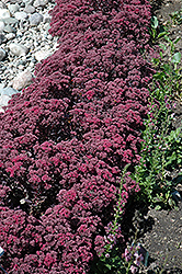 Dazzleberry Stonecrop (Sedum 'Dazzleberry') at Dickman Farms