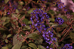 Lo And Behold® Blue Chip Junior Dwarf Butterfly Bush (Buddleia 'Lo And Behold Blue Chip Junior') at Dickman Farms