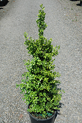 Green Tower® Boxwood (Buxus sempervirens 'Monrue') at Dickman Farms