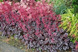 Glitter Coral Bells (Heuchera 'Glitter') at Dickman Farms