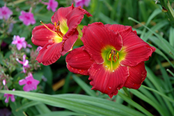 Happy Ever Appster® Red Hot Returns Daylily (Hemerocallis 'Red Hot Returns') at Dickman Farms