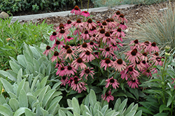 Purple Emperor Coneflower (Echinacea purpurea 'Purple Emperor') at Dickman Farms
