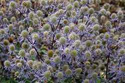 Blue Glitter Sea Holly (Eryngium planum 'Blue Glitter') at Dickman Farms