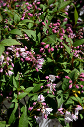 Yuki Cherry Blossom® Deutzia (Deutzia 'NCDX2') at Dickman Farms
