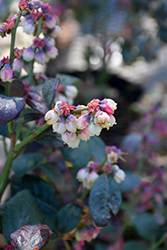 Pink Icing® Blueberry (Vaccinium 'ZF06-079') at Dickman Farms