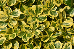 Gold Splash® Wintercreeper (Euonymus fortunei 'Roemertwo') at Dickman Farms