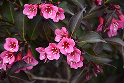 Wine and Roses® Weigela (Weigela florida 'Alexandra') at Dickman Farms
