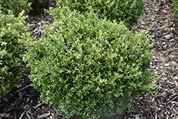 Franklin's Gem Boxwood (Buxus microphylla 'Franklin's Gem') at Dickman Farms