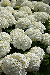 Incrediball® Hydrangea (Hydrangea arborescens 'Abetwo') at Dickman Farms
