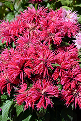 Cherry Pops Beebalm (Monarda 'Cherry Pops') at Dickman Farms