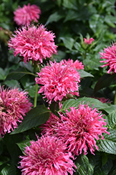 Bubblegum Blast Beebalm (Monarda 'Bubblegum Blast') at Dickman Farms