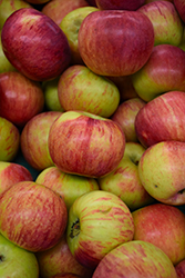 Cortland Apple (Malus 'Cortland') at Dickman Farms