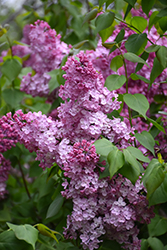 Old Glory Lilac (Syringa 'Old Glory') at Dickman Farms