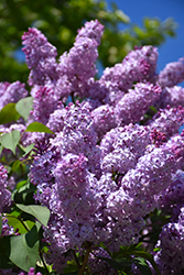 Common Lilac (Syringa vulgaris) at Dickman Farms