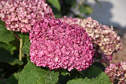 Invincibelle® Mini Mauvette Hydrangea (Hydrangea arborescens 'NCHA7') at Dickman Farms