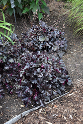 Black Pearl Coral Bells (Heuchera 'Black Pearl') at Dickman Farms