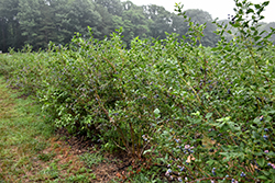 Bluecrop Blueberry (Vaccinium corymbosum 'Bluecrop') at Dickman Farms