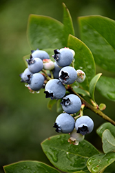 Northblue Blueberry (Vaccinium 'Northblue') at Dickman Farms