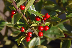 Honey Maid Meserve Holly (Ilex x meserveae 'Honey Maid') at Dickman Farms