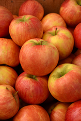 Honeycrisp Apple (Malus 'Honeycrisp') at Dickman Farms
