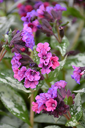 Silver Bouquet Lungwort (Pulmonaria 'Silver Bouquet') at Dickman Farms
