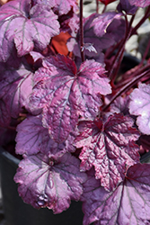 Electric Plum Coral Bells (Heuchera 'Electric Plum') at Dickman Farms