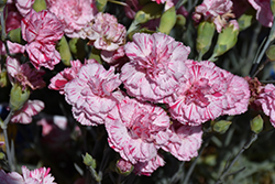 Devon Cottage™ Pinball Wizard Pinks (Dianthus 'WP15 MOW08') at Dickman Farms