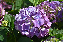 L.A. Dreamin'® Hydrangea (Hydrangea macrophylla 'Lindsey Anne') at Dickman Farms